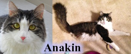 Anakin The Two Legged Cat, Cat Artist Carrie Hawks' Cats