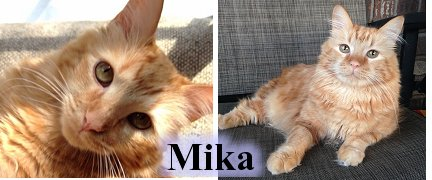 Mika, our Orange Tabby missing parts of both of his back legs, Cat Artist Carrie Hawks' Cats