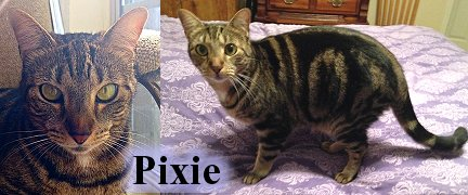 Pixie our brown marble tabby, Cat Artist Carrie Hawks' Cats